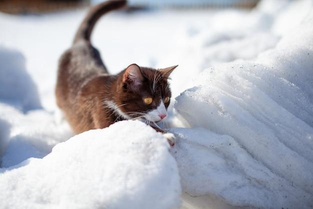 겨울에 눈 더미를 통과하는 갈색 솜털 고양이