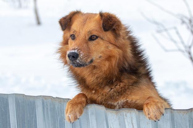 茶色のふわふわ犬が後ろ足で立ち、冬は柵の後ろから外を眺める
