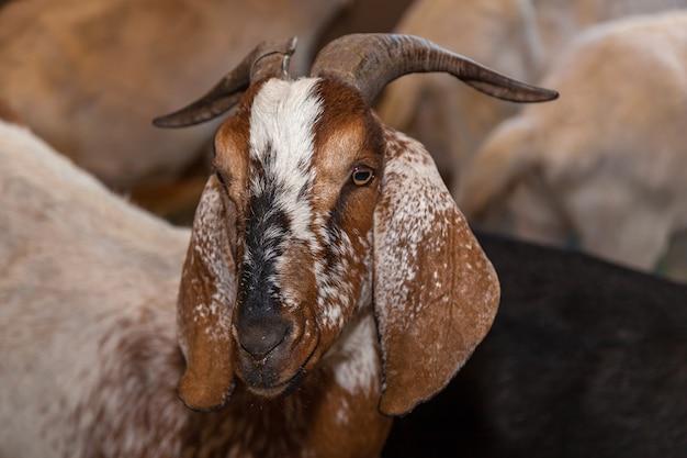 長い耳を持つ茶色のヤギがペンの中に立っています