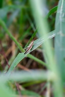 정글에서 야생 잔디 잎에 앉아 갈색 메뚜기