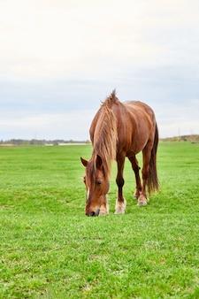 Коричневая лошадь с косматой коричневой гривой ест на пустом травяном поле.
