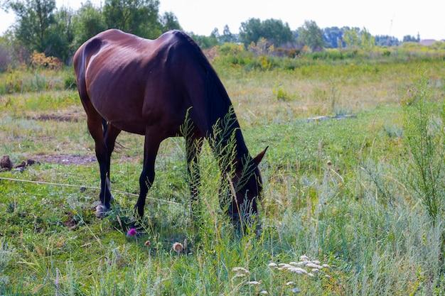 たてがみを持つ茶色の馬は野原で草を食べる