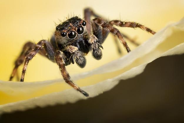 노란색 배경에 노란색 꽃잎에 갈색 점프 거미