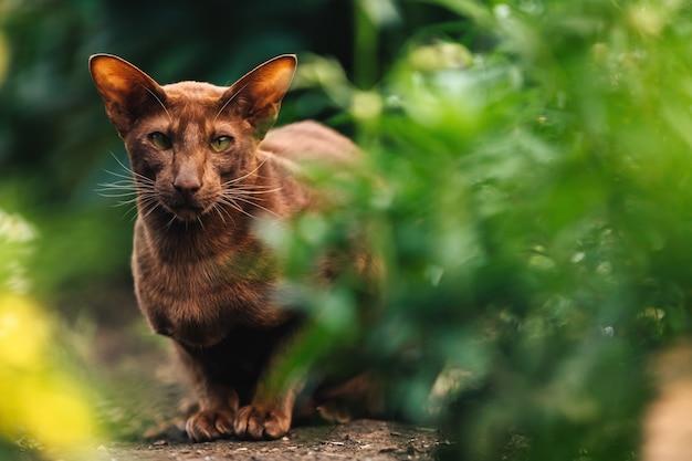 茶色のオリエンタル猫が緑の花壇の近くに座っています。