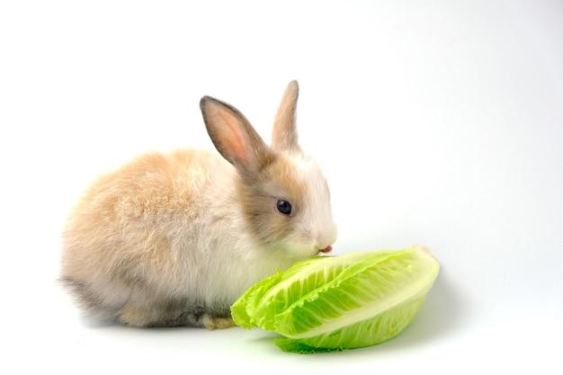 Коричневый кролик с одним ухом лежит на белом