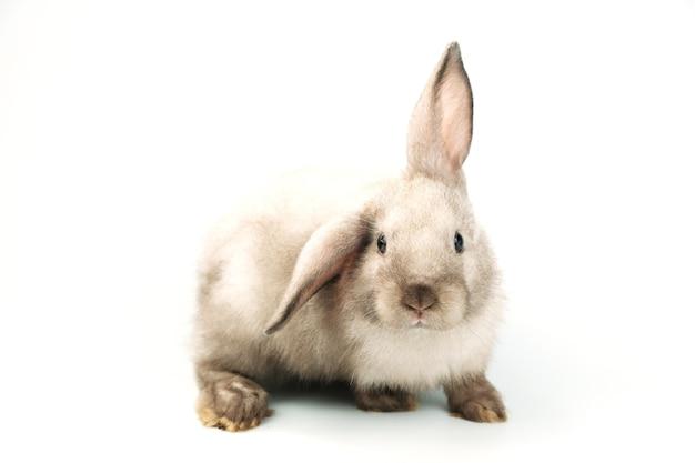 Коричневый кролик с одним ухом лежит