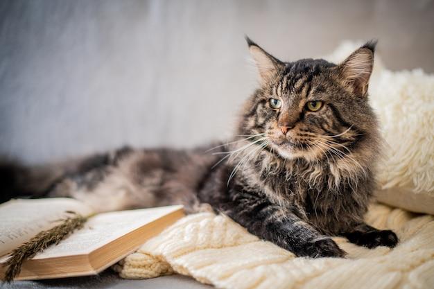 居心地の良い雰囲気の中で、残忍なメインクーンの猫がニットセーターの本の横に横たわっています