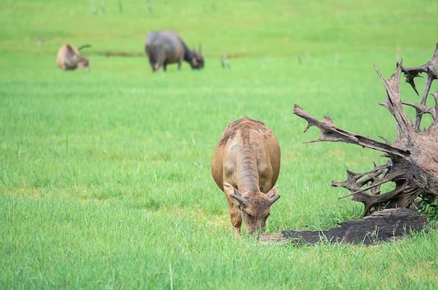 牧草地で草を食べるバッファロー。