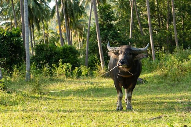 緑の熱帯のジャングルの芝生で大きな角を持つ水牛が草を食む