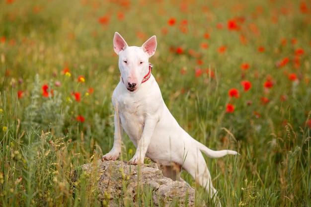 Собака бультерьера гуляет в поле маков