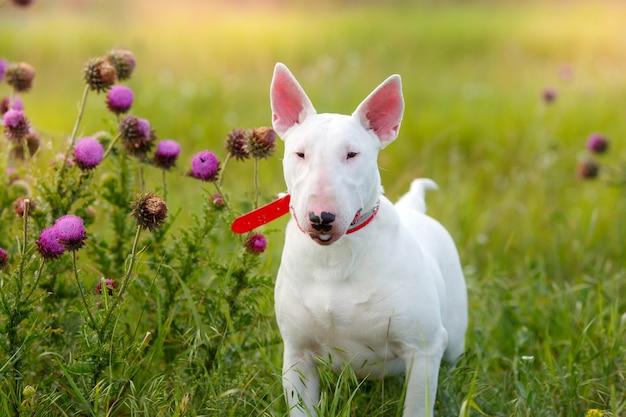 Собака бультерьера гуляет в поле