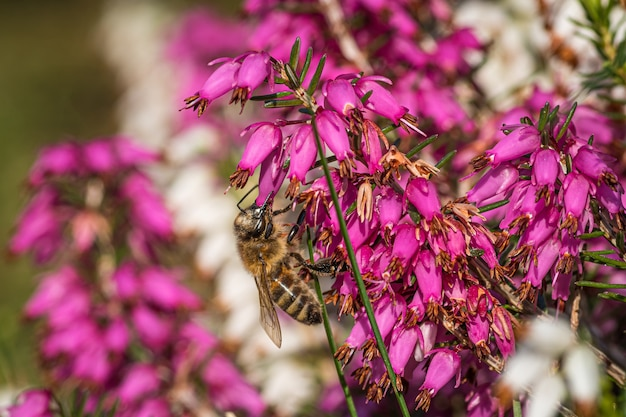 ミソハギとザクロの家族からの美しい紫色の花に蜜を集めるマルハナバチ