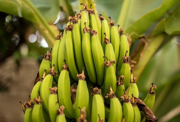 Букет красивых зеленых бананов на стороне бананового дерева. плантация. сельское хозяйство.