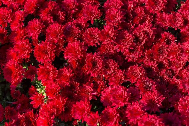 美しい赤い菊の束