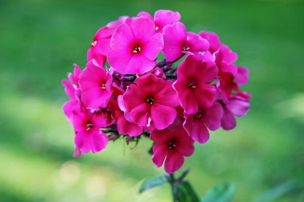 Букет красивых красных цветов на зеленом размытом фоне. цветки из пяти лепестков на одном стебле. выборочный фокус