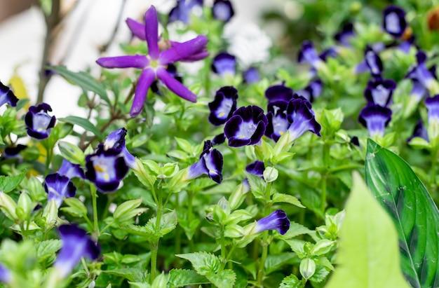 選択的に焦点を当てた庭に咲く青いウィッシュボーンまたはトレニアの花の束