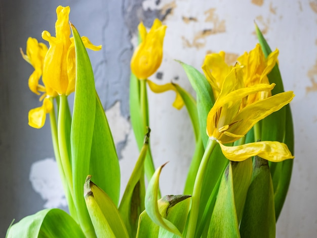 Букет засушенных желтых тюльпанов у старой стены.