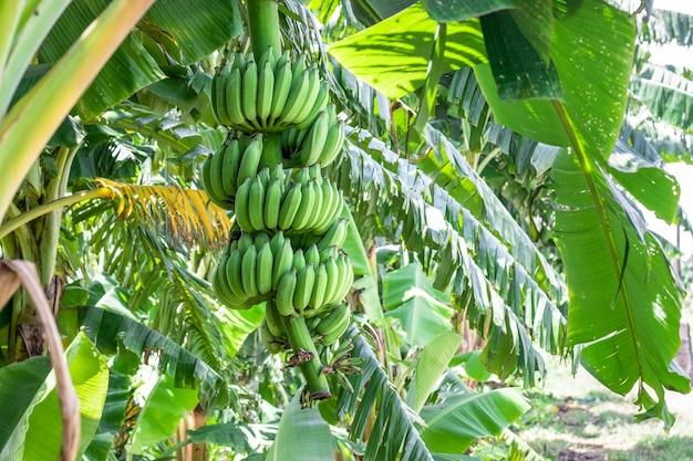 Связка свежих зеленых бананов, висящих на дереве в саду