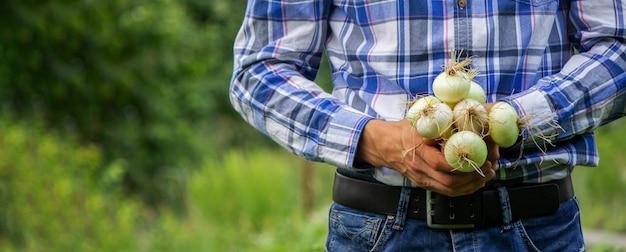 농부의 손에 있는 신선한 양파의 무리. 자연. 선택적 초점