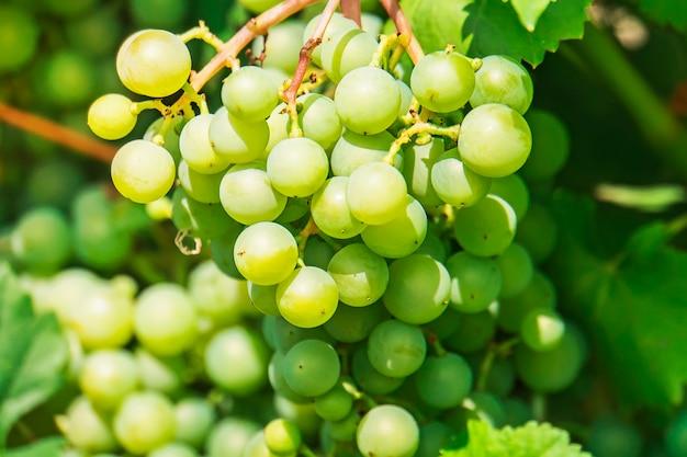 В саду растет гроздь винограда. зеленые ягоды винограда при дневном солнечном свете. винтаж на даче.