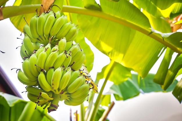 Букет зеленых бананов, растущих на пальме