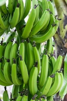 나무 가까이에서 자라는 녹색 바나나 한 무리