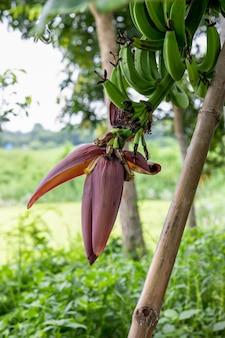 나무에 꽃이 자라고 있는 녹색 바나나 다발과 그 다발은 대나무 막대기로 지지되었습니다
