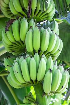 Букет органических свежих зеленых бананов на дереве крупным планом