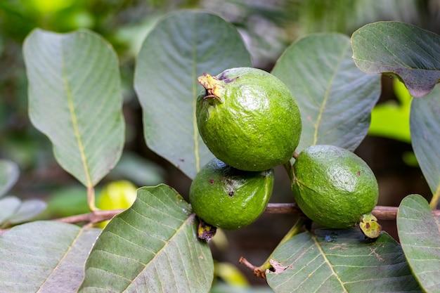 잎이 있는 나뭇가지에 있는 유기농 녹색 구아바 과일