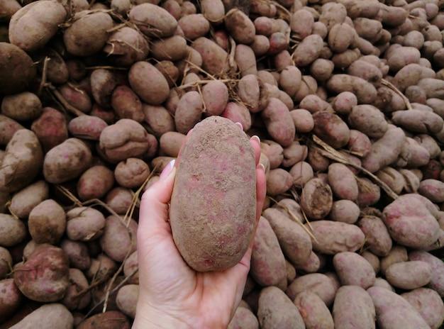 ジャガイモの束。女性の手は、多くのジャガイモを背景にジャガイモのクローズアップを保持しています。生態学的な農作物を収穫するという概念。