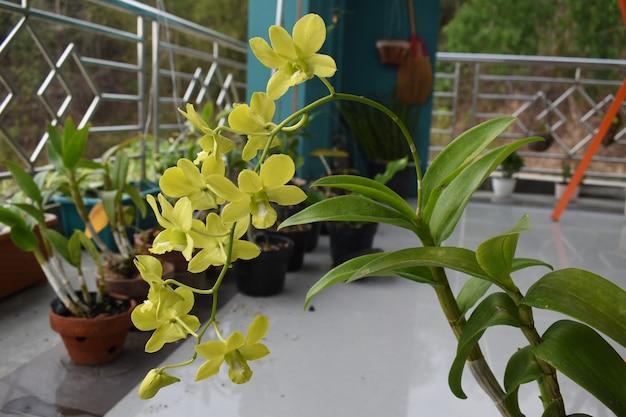 美しい黄色い蘭の花が咲くデンドロビウム蘭のきれいな黄色の花びらの束