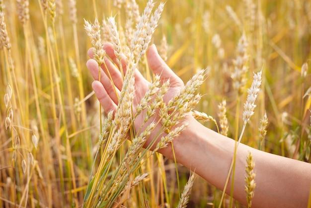 Связка колосьев пшеницы в руке женщины. на фоне золотого поля пшеницы.
