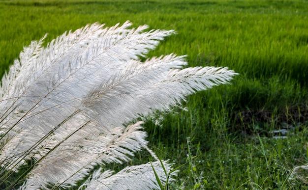 논 근처에 하얀 칸스 풀꽃 한 송이가 피었다