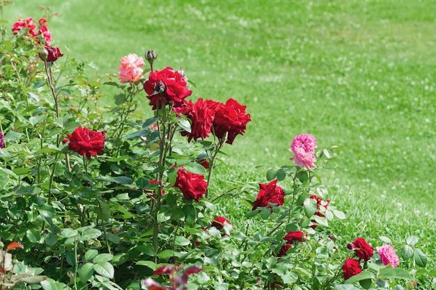 Куст разноцветных роз на фоне зеленой лужайки.