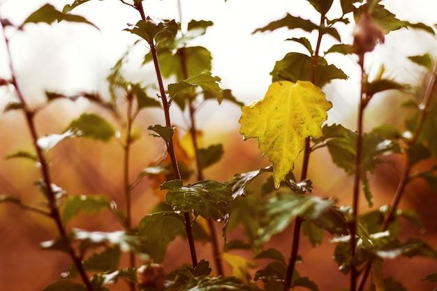 雨が降るとスグリが茂り、葉は黄色くなります。
