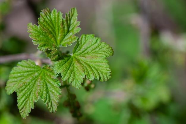 緑の葉と花のないスグリの茂み。春の植物成長の始まり