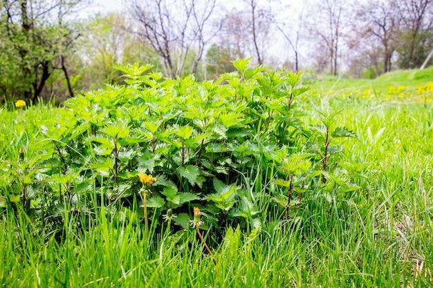 木の緑の草の間のイラクサの茂み