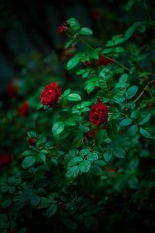 어두운 빛 정원에 붉은 꽃이 만발한 장미 덤불