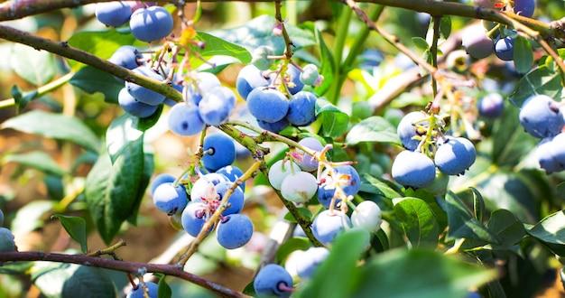 自然な形で熟しているジューシーなブルーベリーの茂み。焦点ぼけ