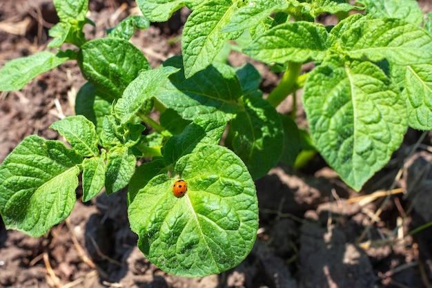 녹색 잎에 무당벌레가 있는 어린 감자 덤불. 농업 및 해충 방제.