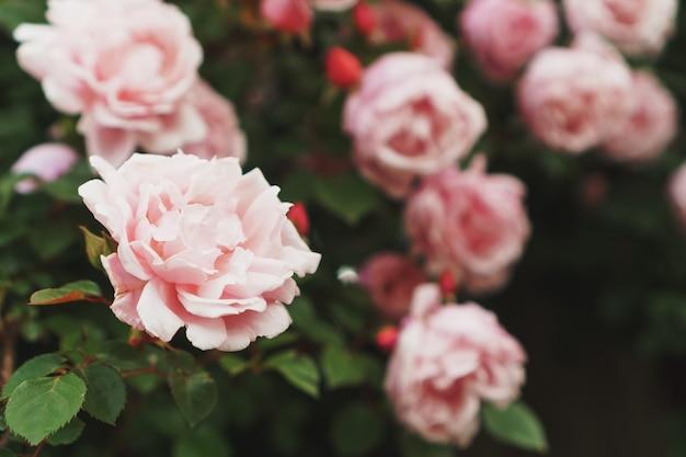 Куст с крупным планом многих маленьких розовых роз в саду. кусты розовых роз цветут на дороге. красивый букет роз. уход за кустами садовых роз