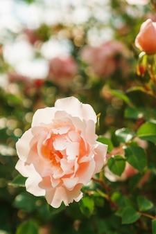 Куст с крупным планом многих маленьких розовых роз в саду. кусты розовых роз цветут на дороге. выборочный фокус