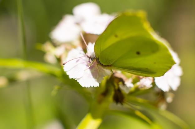레몬그라스의 나비가 꽃 위에 앉아 있습니다. 꿀을 모으다