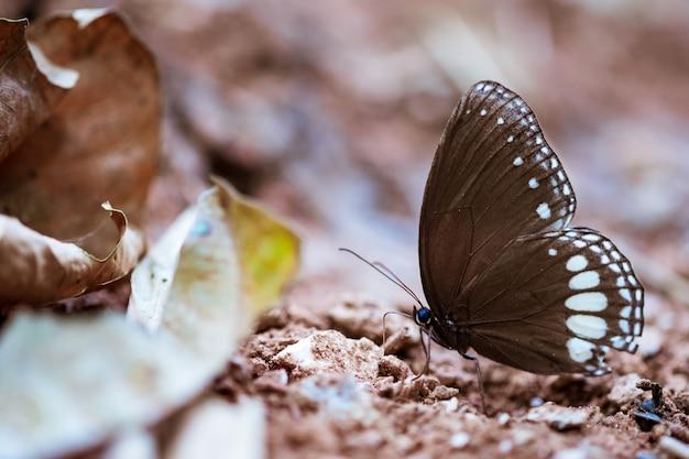Бабочка ест соль. оближите некоторые минералы из естественных засоленных почв.