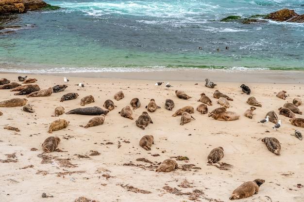 Калифорнийские морские львы в детском бассейне ла-хойя сан-диего калифорния