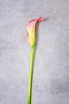 Цветок каллы на текстурированном фоне нежный цветок каллы на боку