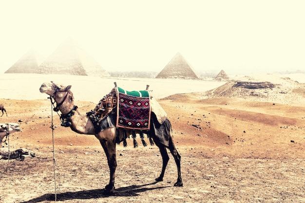 砂嵐の最中にピラミッドの前にあるギザの砂漠にいるラクダ。