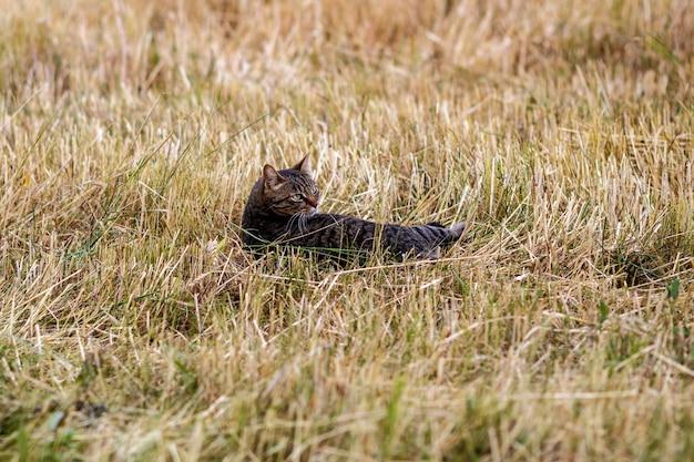 Кошка в поле срезанной пшеницы