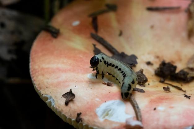 애벌레는 가을 숲에서 큰 분홍색 버섯에 크롤링합니다. 확대