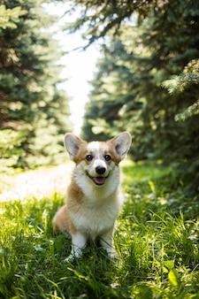 쾌활한 pembroke corgi 개는 녹색 여름 잔디에 서 있습니다. 수직 방향